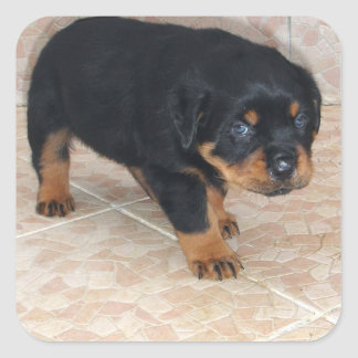 Rottweiler Puppy Looking Embarassed Square Sticker