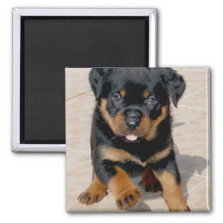 Rottweiler Puppy Running With Tongue Out 2 Inch Square Magnet