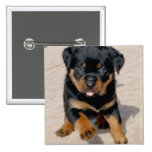 Rottweiler Puppy Running With Tongue Out Pins