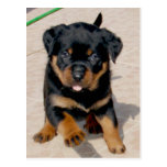 Rottweiler Puppy Running With Tongue Out Postcards