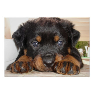 Rottweiler Puppy With Big Paws Lying Down Poster