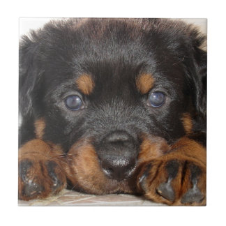 Rottweiler Puppy With Big Paws Lying Down Tile