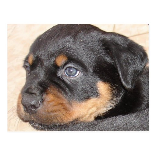 Rottweiler Puppy With Blue Eyes Postcard