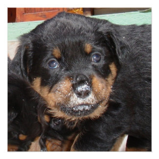 Rottweiler Puppy With Food On Nose Poster