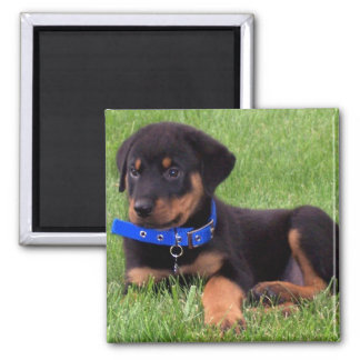 rottweiler pups. 2 inch square magnet