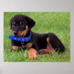rottweiler pups. poster