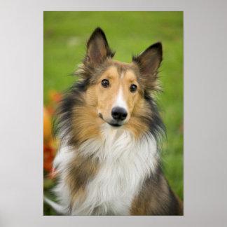 Rough Collie, dog, animal Poster