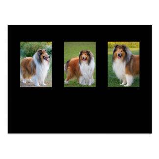 Rough Collie dog lovers photo postcard