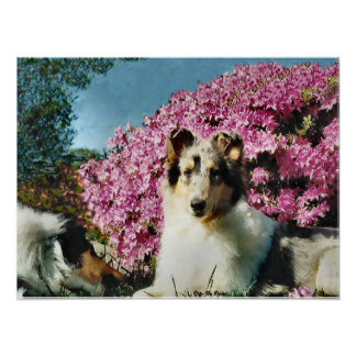 Rough Collie Gifts Art Poster