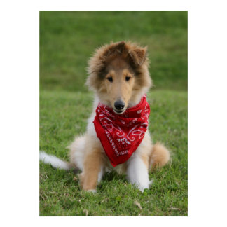 Rough collie puppy dog cute photo poster print