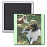 Rough Collies 2 Inch Square Magnet