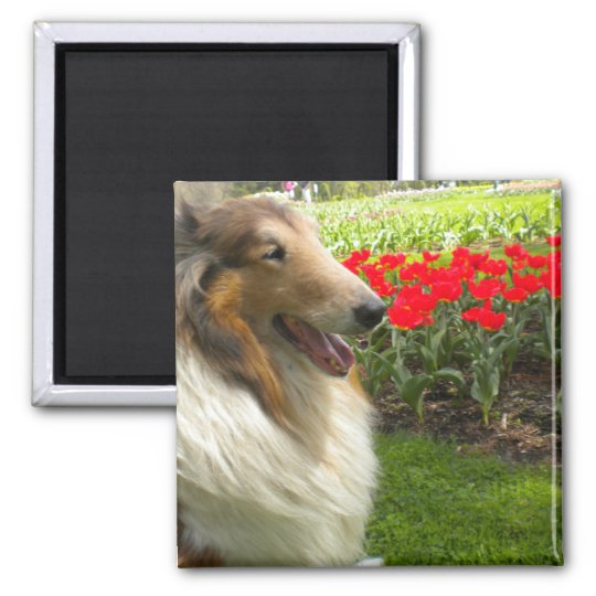 Rough Sable Collie n Tulips Magnet