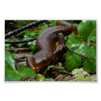 rough-skinned newt poster