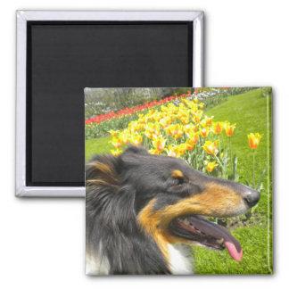 Rough Tri-Color Collie n Tulips Magnet