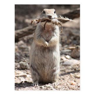 Round-Tailed Ground Squirrel Postcard