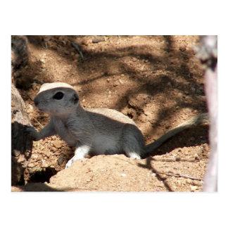 Roundtail Ground Squirrel Postcard