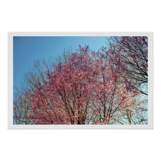 Row of Cherry Blossoms Trees Poster