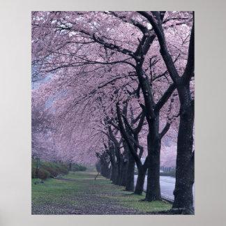 Row of cherryblossom trees poster