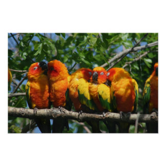 Row of Cute Little Parrots Snuggling Poster