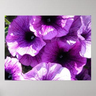 row of purple petunias poster