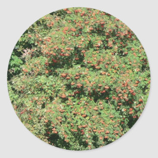 Rowan Tree With Berries Sticker