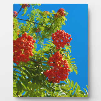 Rowan tree  with red berries plaque