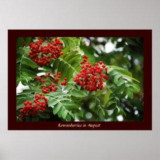 Rowanberries in August 01 Print