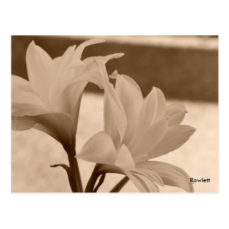 Rowlett Antque Easter Lilly Postcard