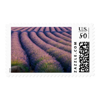 Rows of lavender in Provence Postage