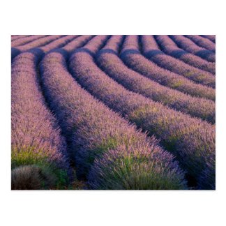 Rows of lavender in Provence Postcard