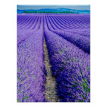 Rows of Lavender, Provence, France Poster