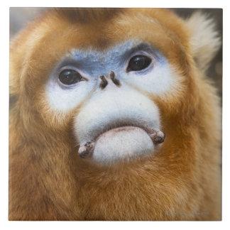 Roxellana de oro masculino de Pygathrix del mono,  Azulejo Cuadrado Grande