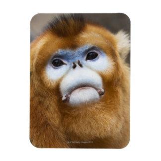 Roxellana de oro masculino de Pygathrix del mono Imanes De Vinilo
