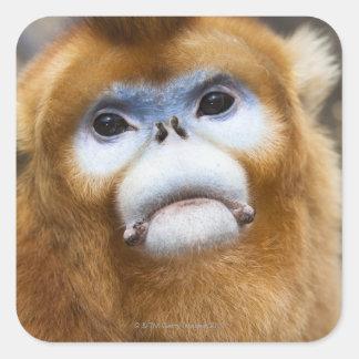 Roxellana de oro masculino de Pygathrix del mono, Pegatina Cuadrada