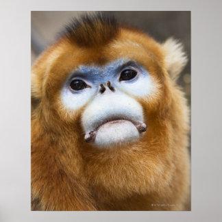 Roxellana de oro masculino de Pygathrix del mono Póster