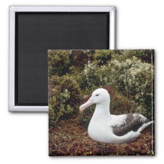 Royal Albatross 2 Inch Square Magnet