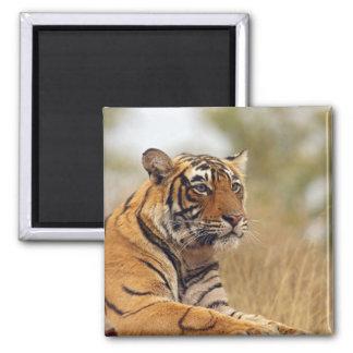 Royal Bengal Tiger - a close up, Ranthambhor Magnet