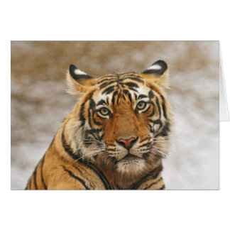 Royal Bengal Tiger - a portrait, Ranthambhor Card