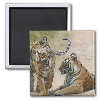 Royal Bengal Tiger and young ones, Ranthambhor Magnet