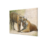 Royal Bengal Tiger and young - Touching ahead, Gallery Wrap Canvas