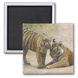 Royal Bengal Tiger and young - Touching ahead, Refrigerator Magnet