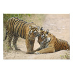 Royal Bengal Tiger and young - Touching ahead, Photographic Print