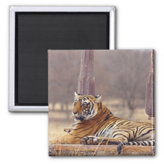 Royal Bengal Tiger at the ceaph, Refrigerator Magnet