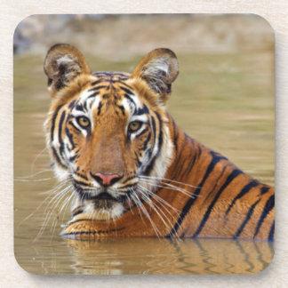 Royal Bengal Tiger at the waterhole Coaster