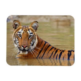 Royal Bengal Tiger at the waterhole Magnet