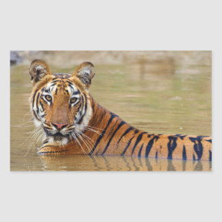 Royal Bengal Tiger at the waterhole Rectangle Stickers