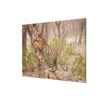 Royal Bengal Tiger climbing up the tree, Stretched Canvas Prints