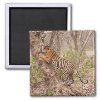 Royal Bengal Tiger climbing up the tree, Magnet