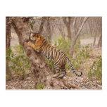 Royal Bengal Tiger climbing up the tree, Postcard