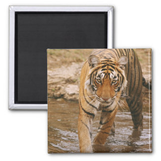 Royal Bengal Tiger coming out of jungle pond, 2 Inch Square Magnet